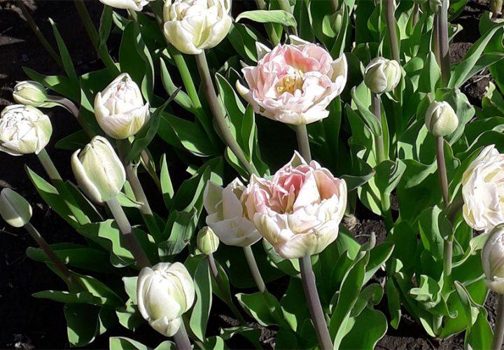 "Projekt ""Tulpen für Brot"""